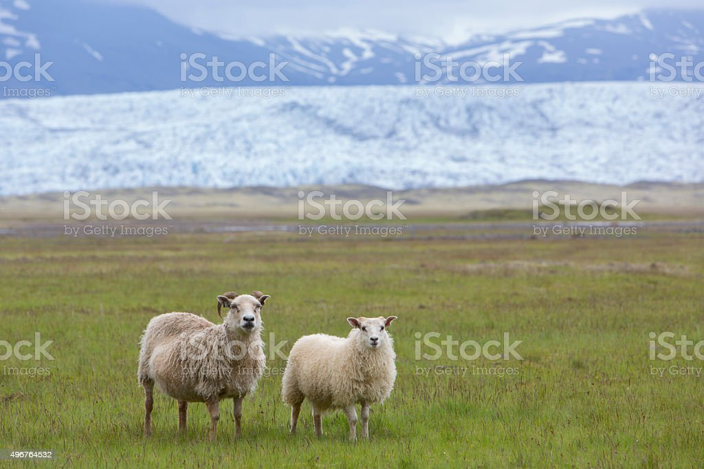 sheep on a meadow in front of glacier vatnajokull,iceland stock photo