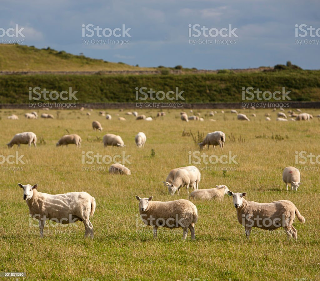 sheep on a meadow stock photo