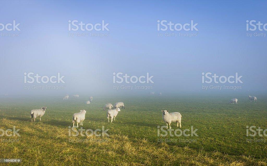 Sheep on a misty morning, Goathland, Yorkshire, UK. stock photo