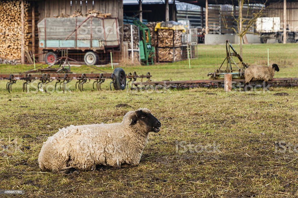 Sheep on a pasture. Animal husbandry in Germany stock photo