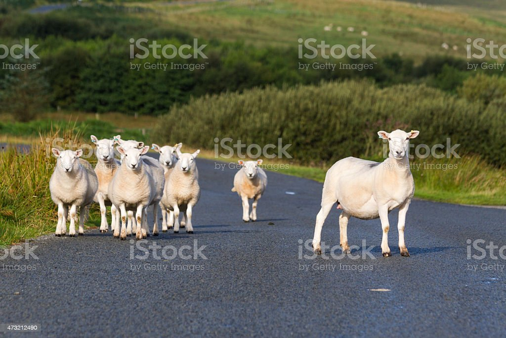 Sheep On a Road stock photo