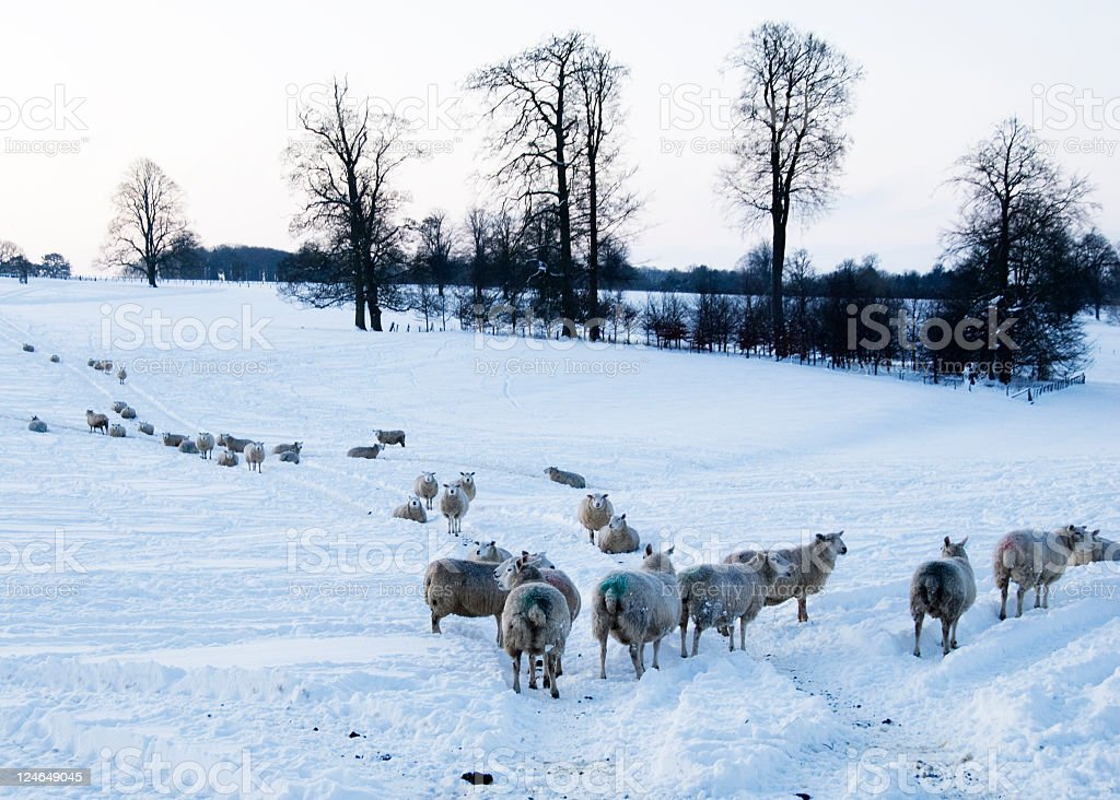 Sheep on a winters day stock photo