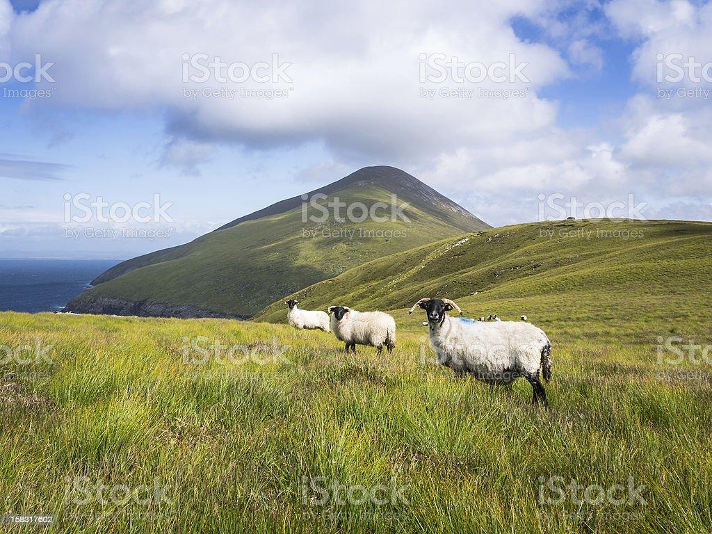 Sheep on Achill Island, Ireland stock photo