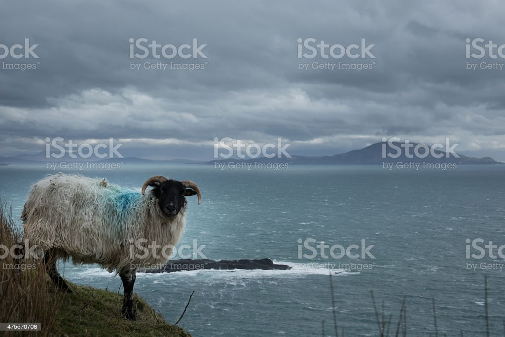 Schaf auf Achill Island royalty-free stock photo
