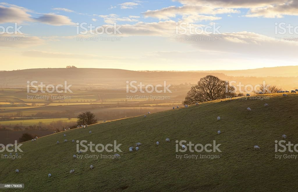 Sheep on Cotswold hills stock photo