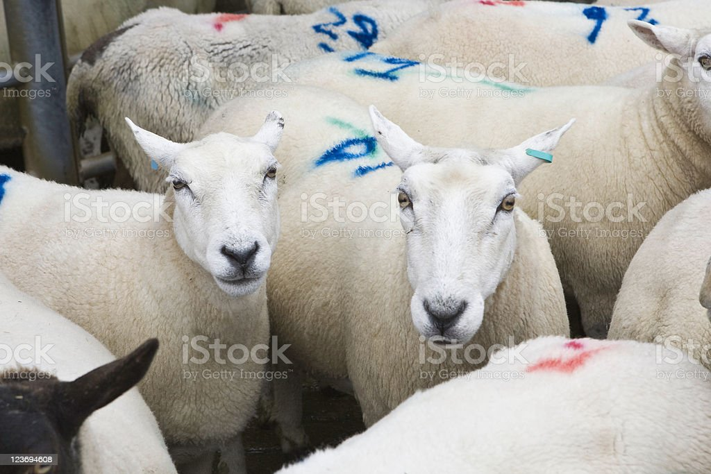 Sheep On Death Row stock photo
