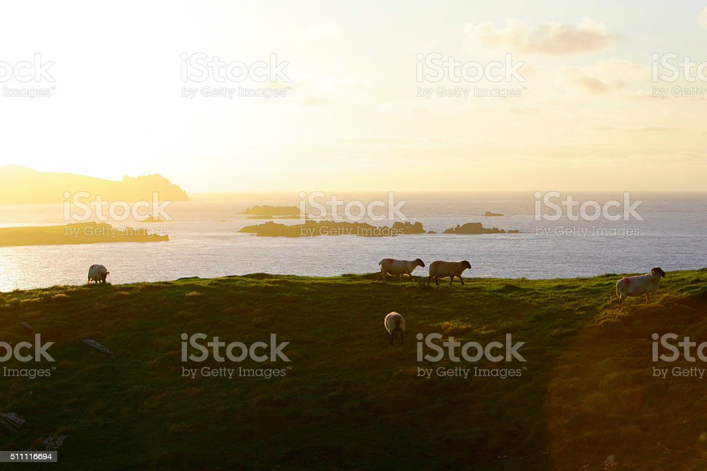 Sheep on Dingle Peninsula - Ireland stock photo