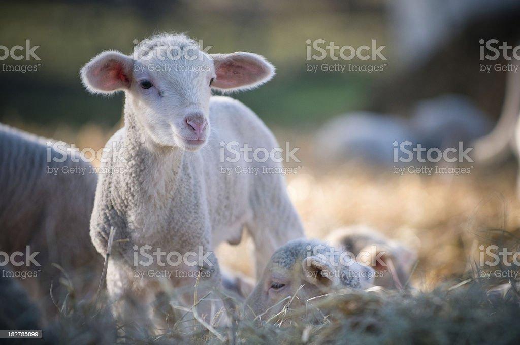 Sheep on farm royalty-free stock photo