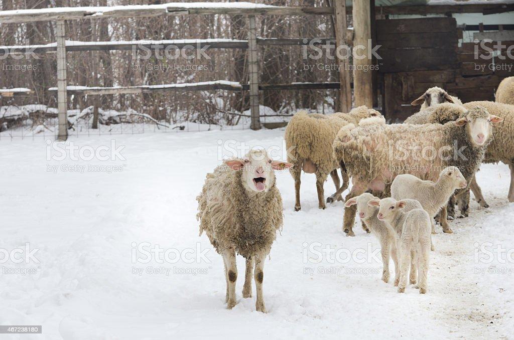 Sheep on farm stock photo
