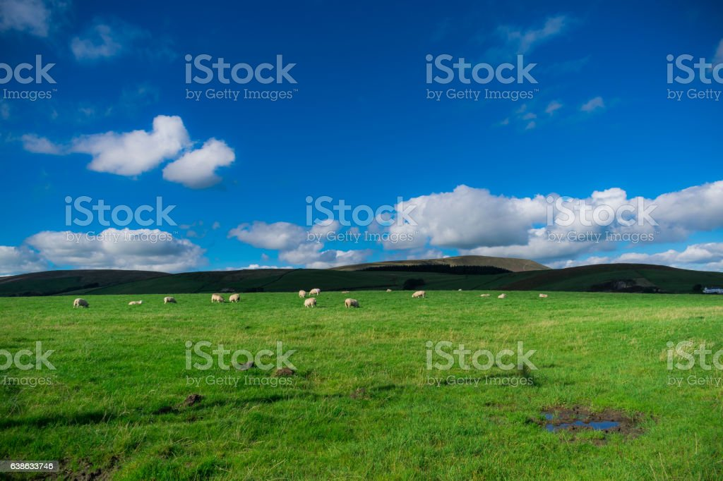 Sheep on Farm stock photo