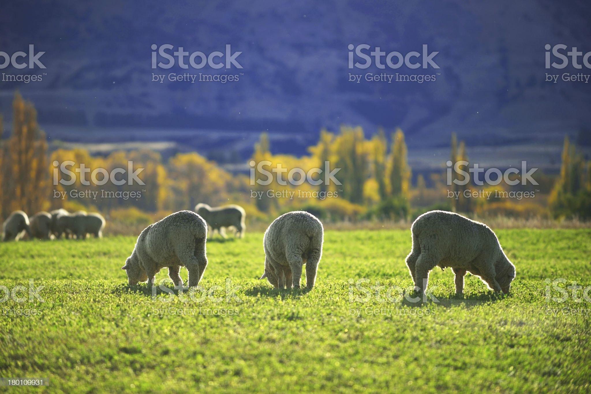sheep on field royalty-free stock photo