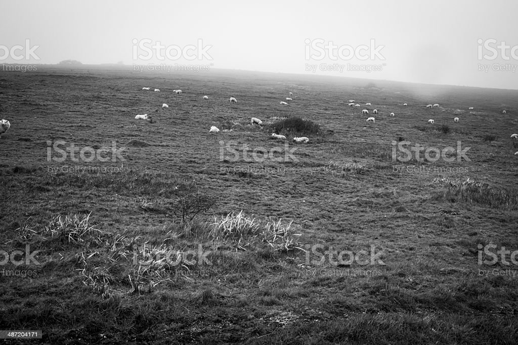 Sheep on foggy fields 2 stock photo