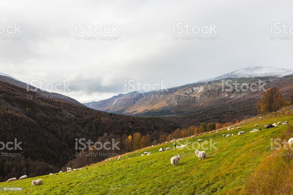 Sheep on grass in Norwegian mountains at sunset in fall. stock photo