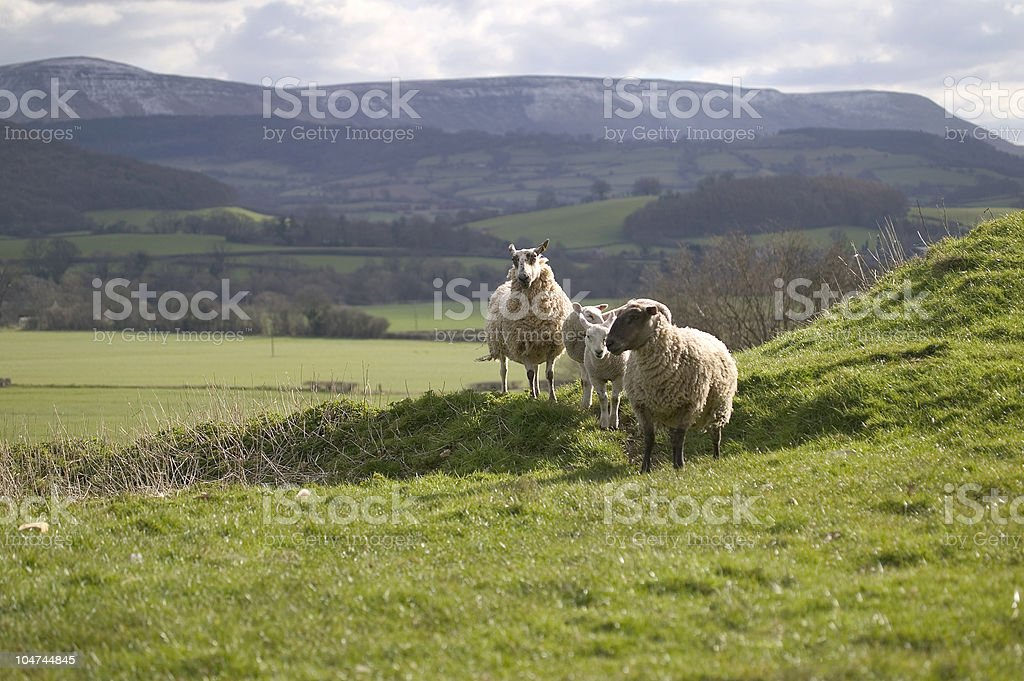 Sheep on hillside royalty-free stock photo