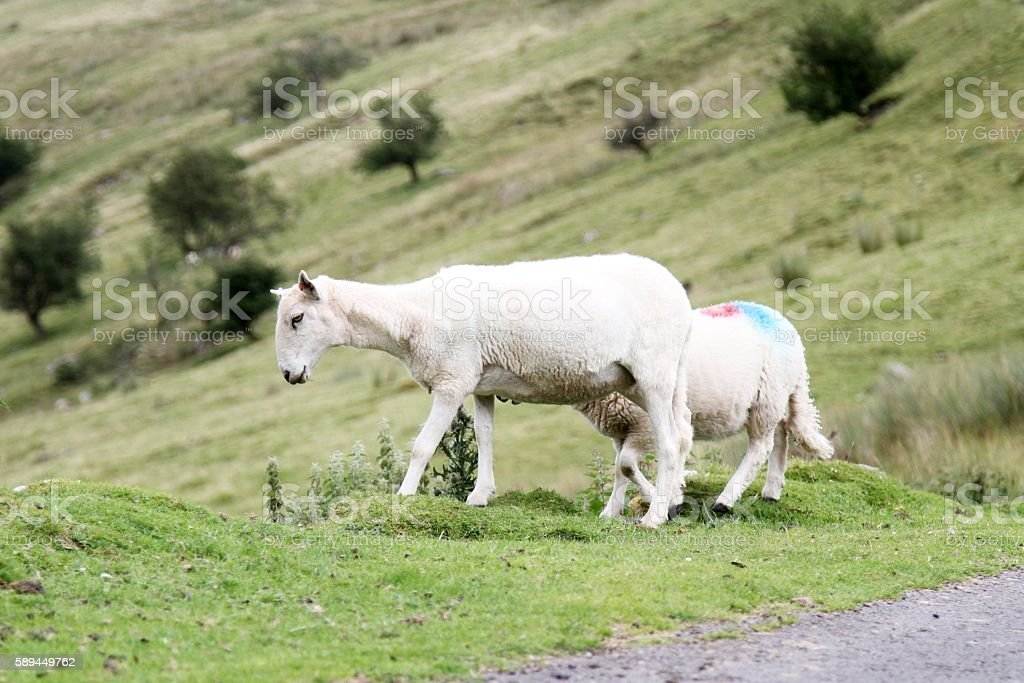 Sheep on hillside stock photo