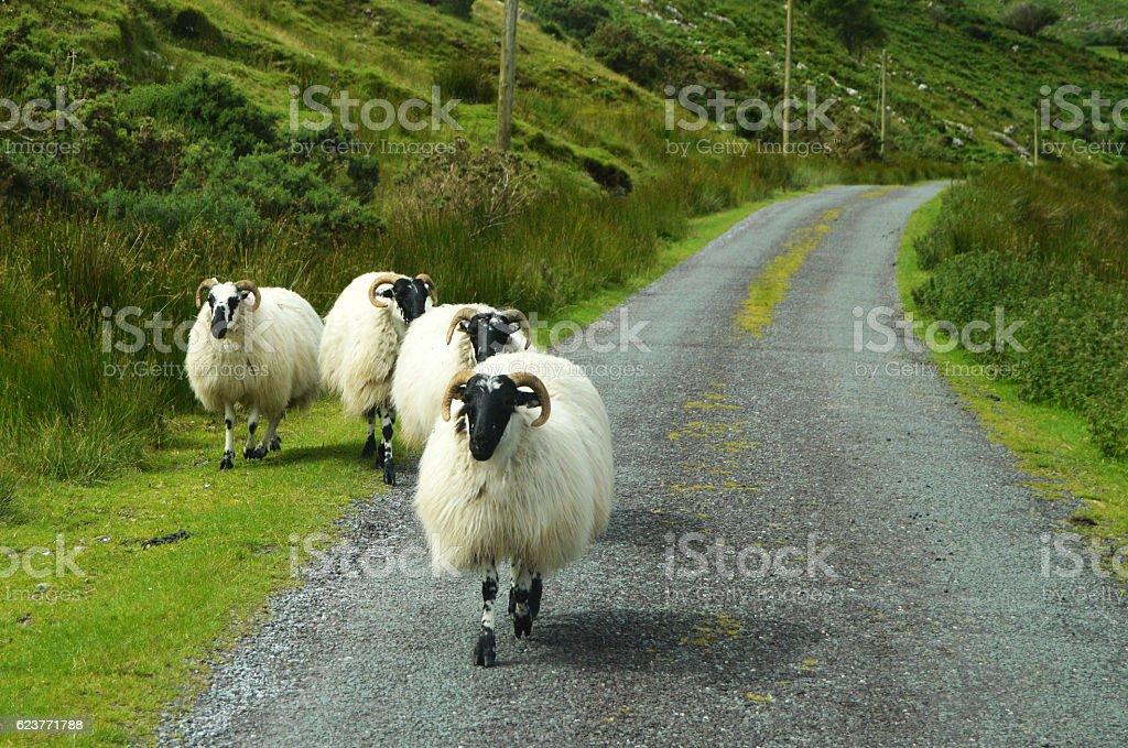 Sheep on Irish road stock photo