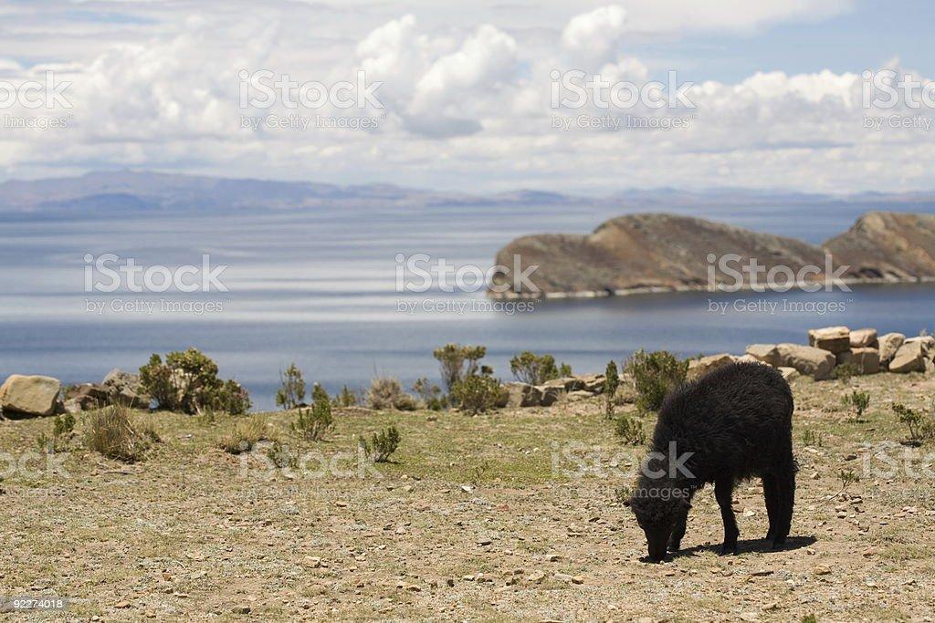 Sheep on Isla del Sol - Titicaca royalty-free stock photo