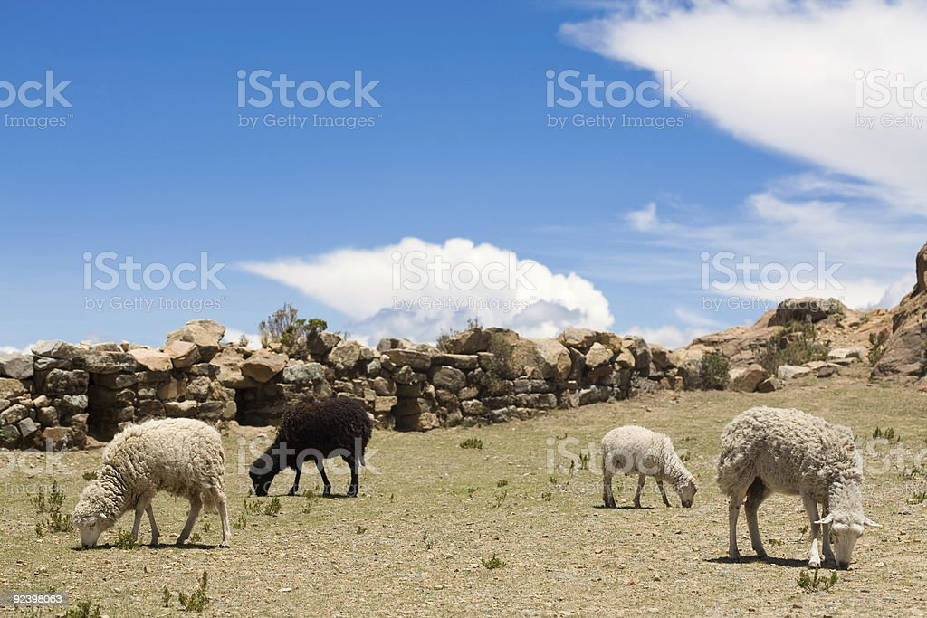 Sheep on Isla del Sol - Titicaca royalty-free stock photo