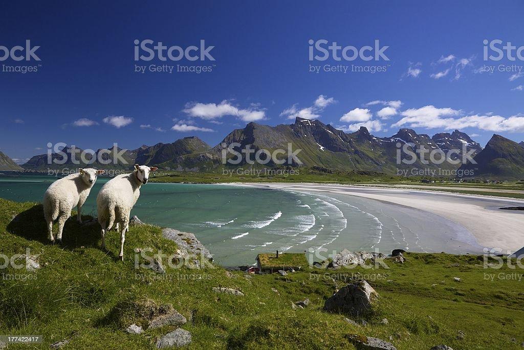 Sheep on Lofoten islands stock photo