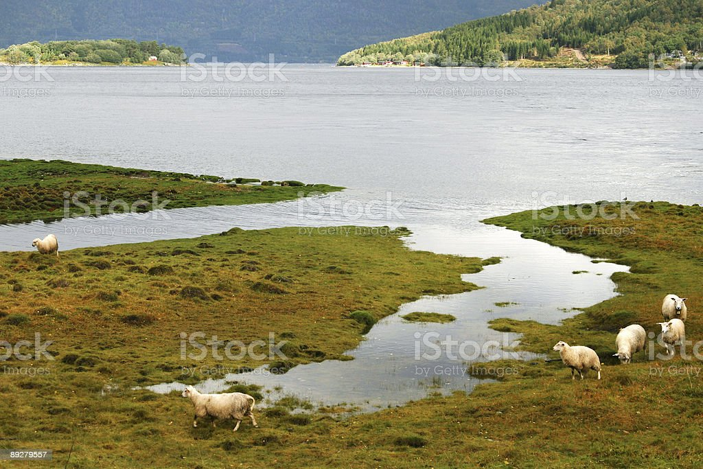Sheep on meadow near the sea royalty-free stock photo