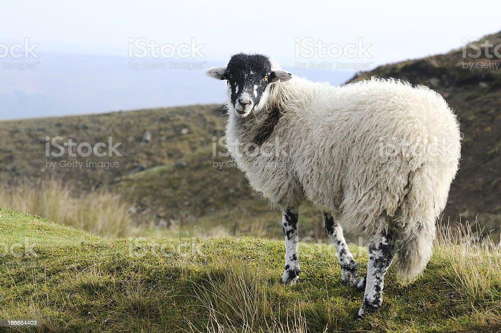sheep on North York moors, England stock photo