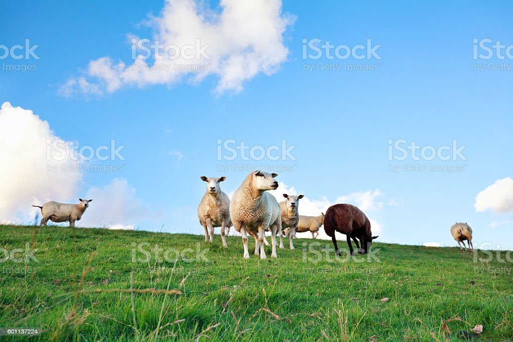 sheep on pasture over blue sky stock photo