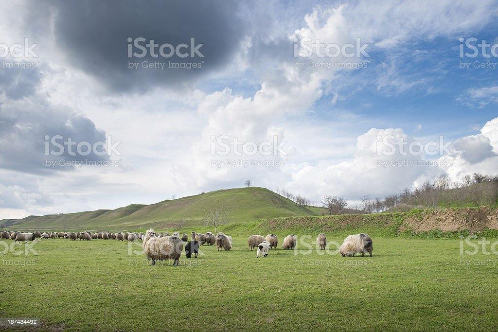sheep on pasture royalty-free stock photo
