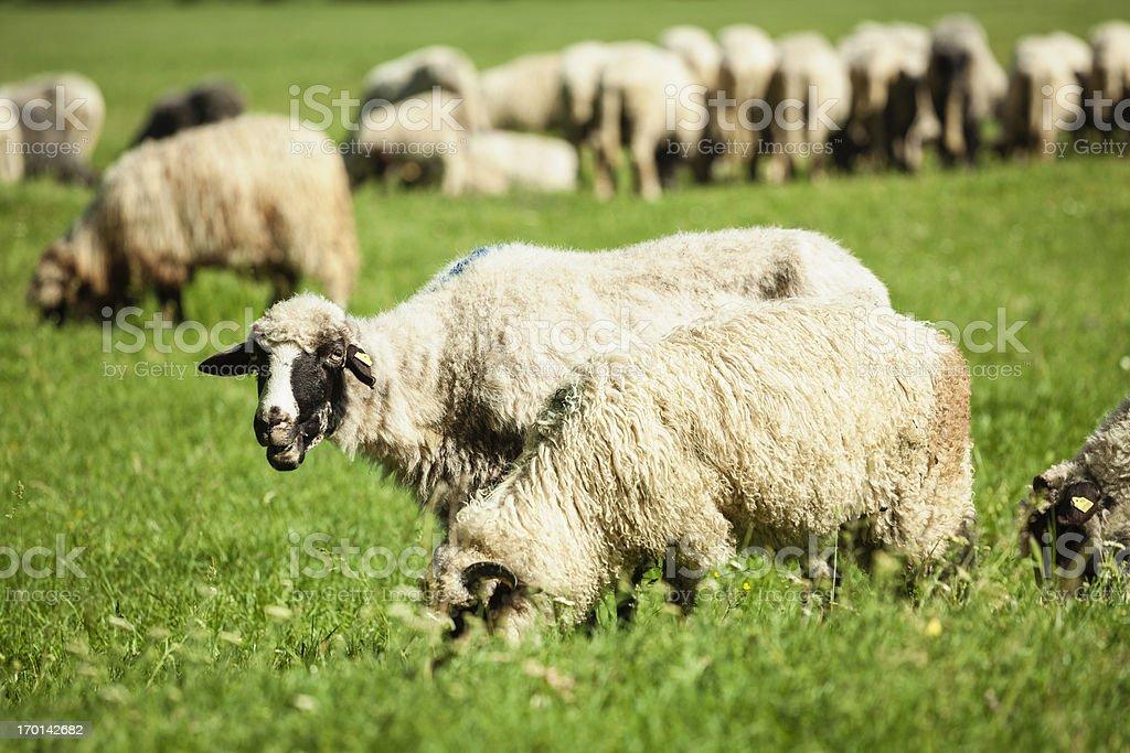 Sheep on pasture royalty-free stock photo