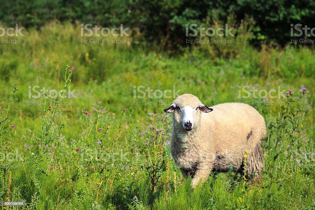 Sheep on pasture stock photo