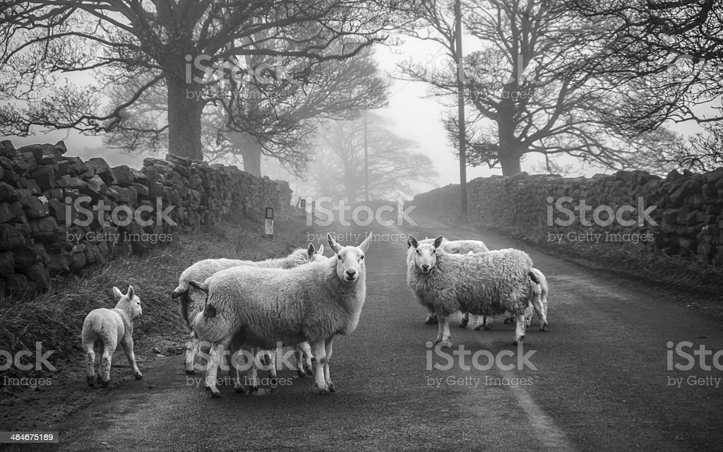 Sheep on road - North Yorkshire stock photo
