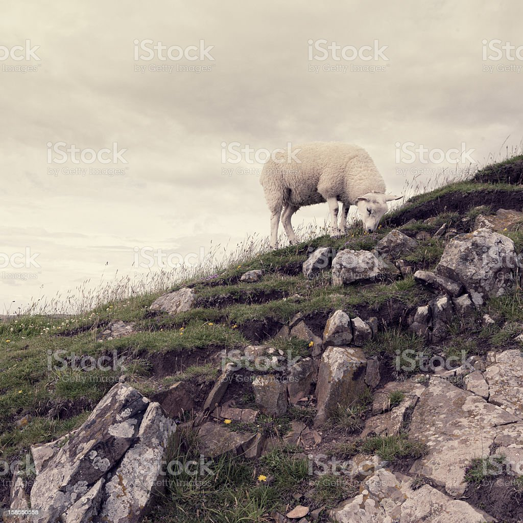 Sheep on rocky outcrop royalty-free stock photo