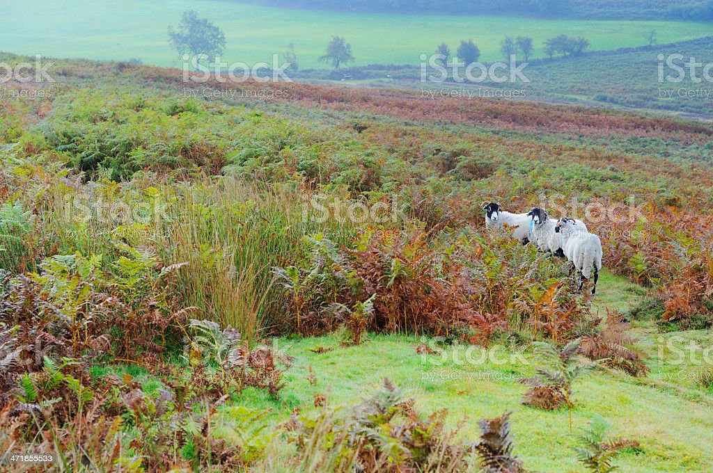 Sheep on Rosedale, North York Moors, England, UK royalty-free stock photo