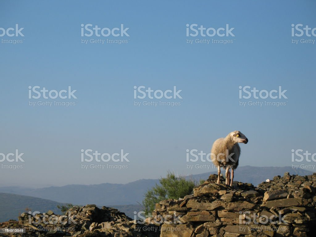 Sheep on Ruins stock photo