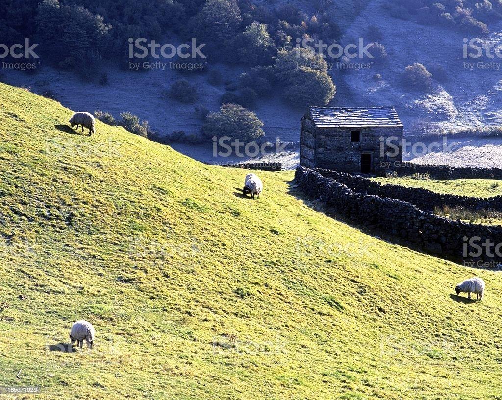 Sheep on slope, Swaledale, Yorkshire. stock photo