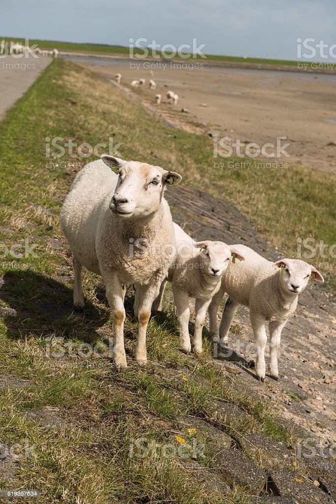 Sheep on the dyke stock photo