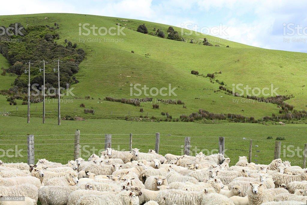 Sheep on the farm royalty-free stock photo