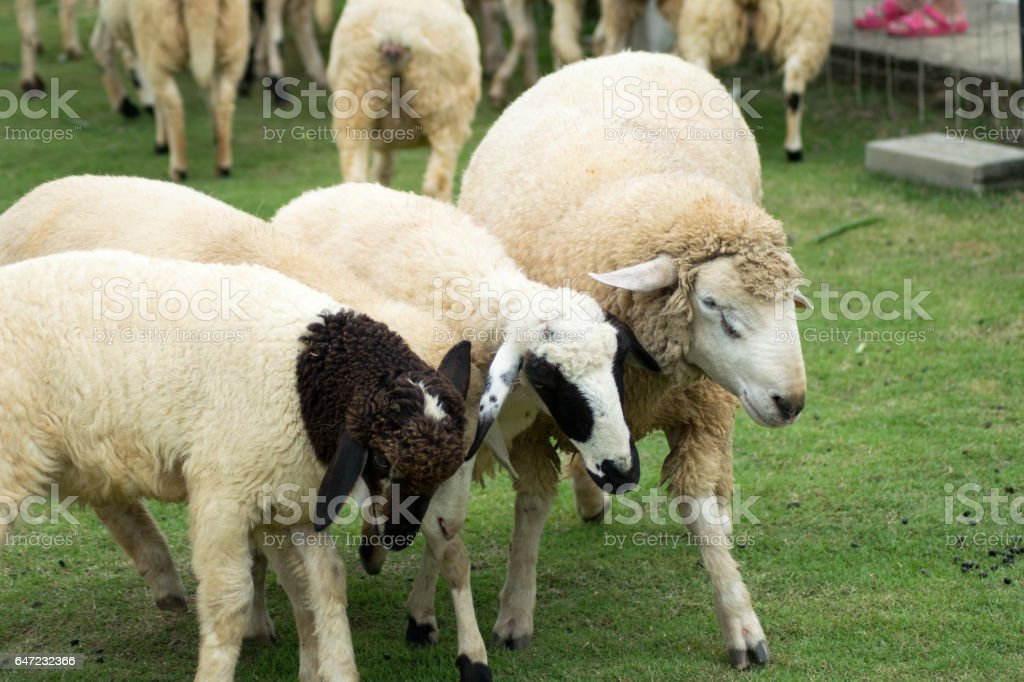 sheep on the grass stock photo