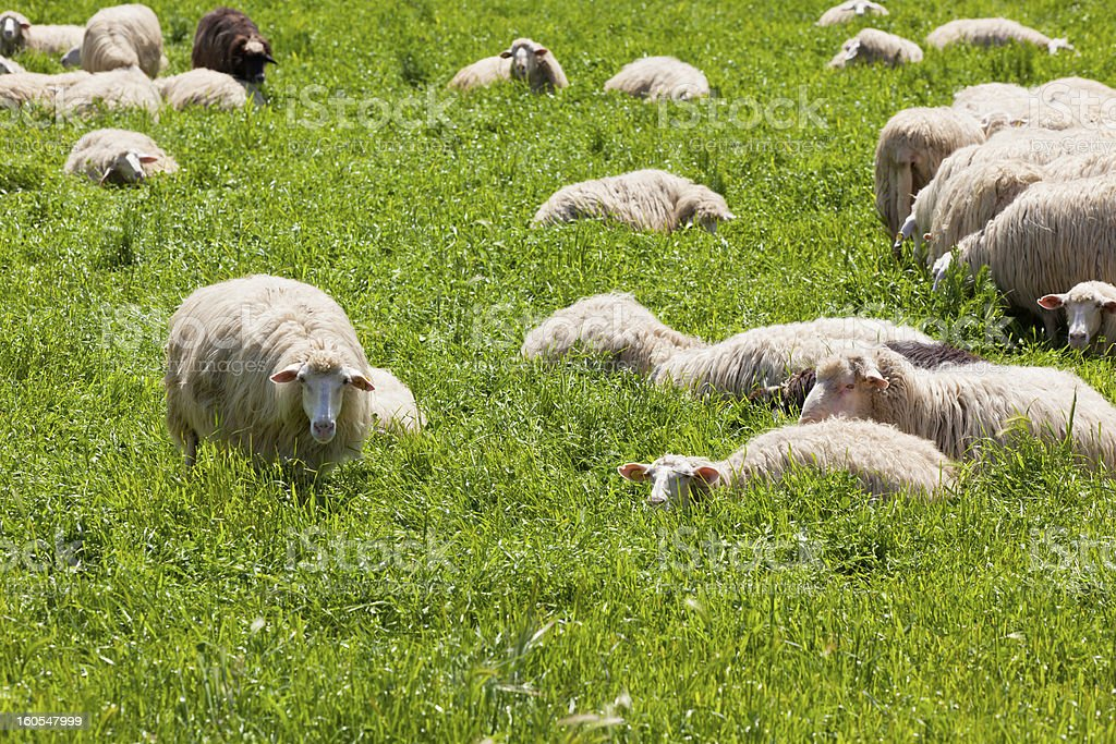 Sheep on the Green Grass royalty-free stock photo