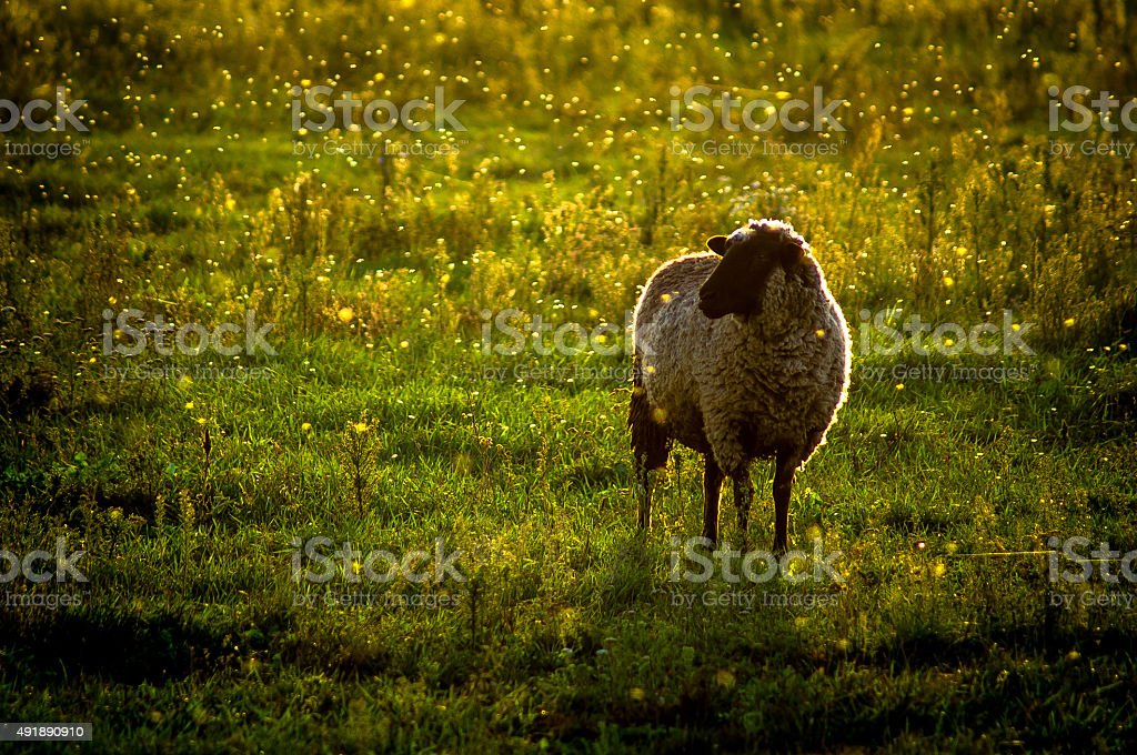 Sheep on the lawn. stock photo
