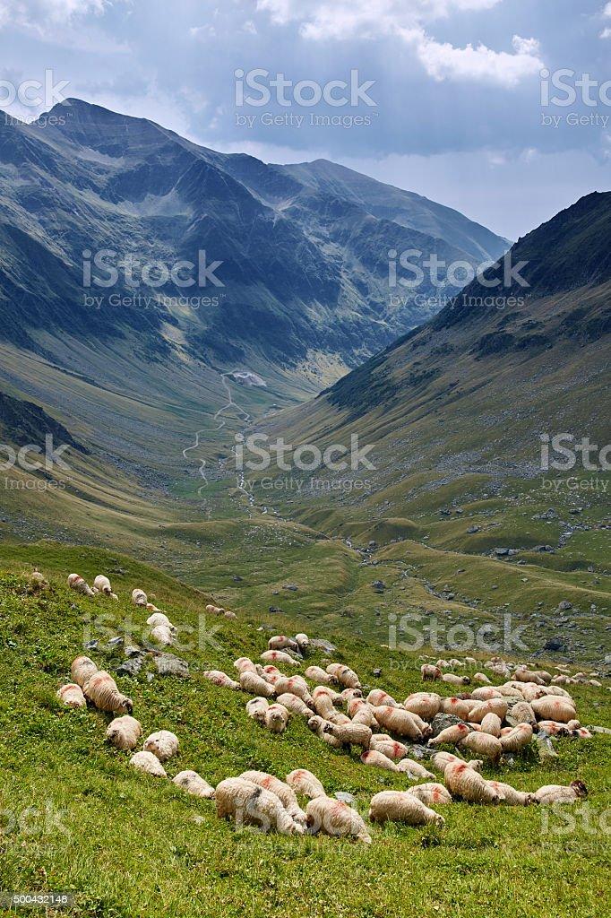Sheep on the mountain stock photo