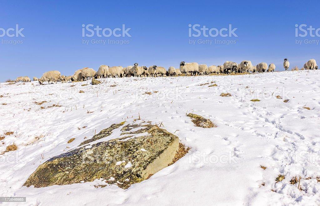 Sheep on the North York Moors, Goathland, Yorkshire, UK royalty-free stock photo