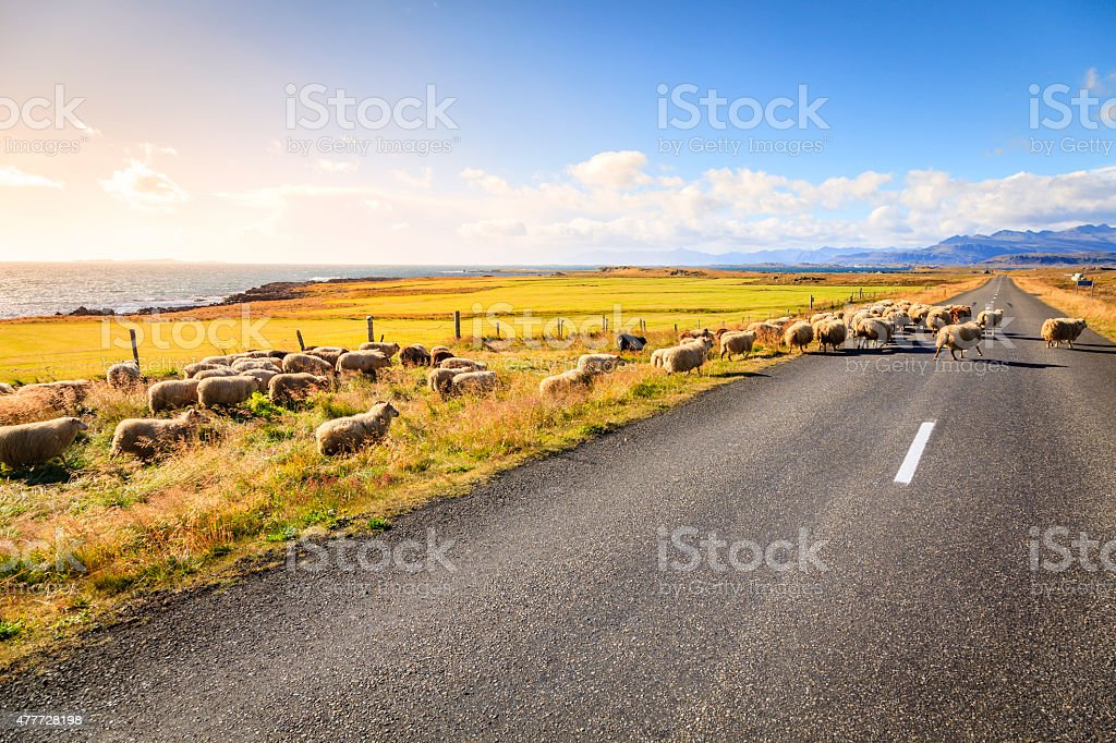 Sheep on the road in Iceland stock photo