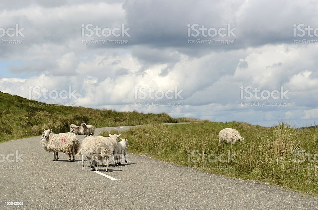 Sheep on the road in Ireland stock photo