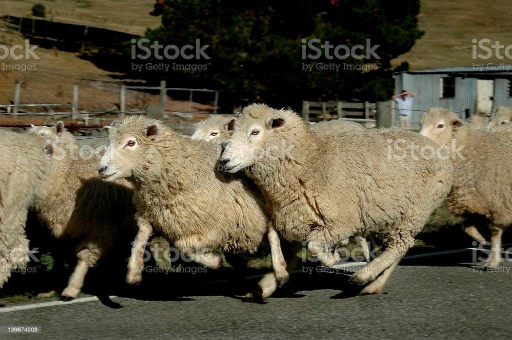 Sheep - On the Run stock photo