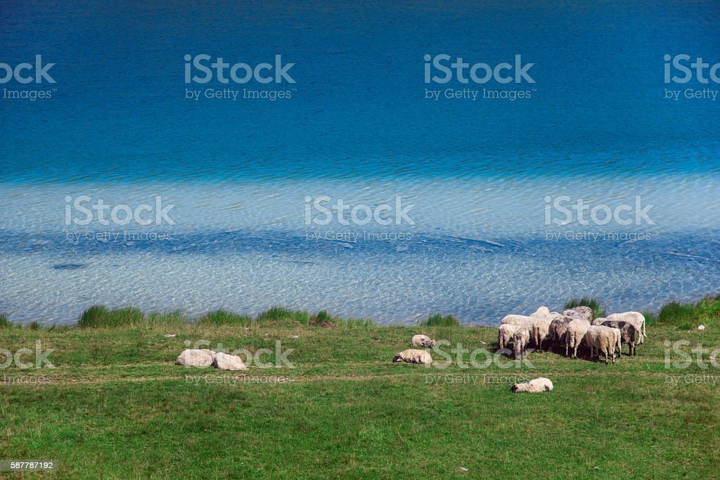 Sheep on the shore stock photo