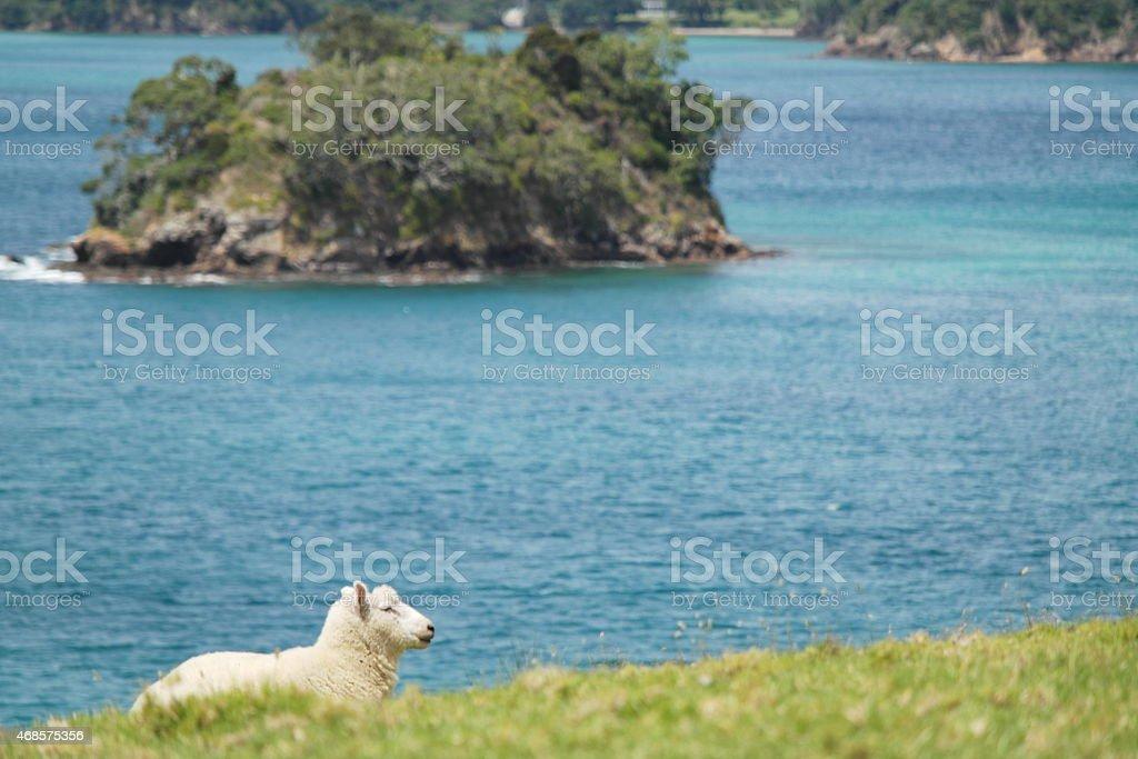 Sheep on the Urupukapuka Island stock photo