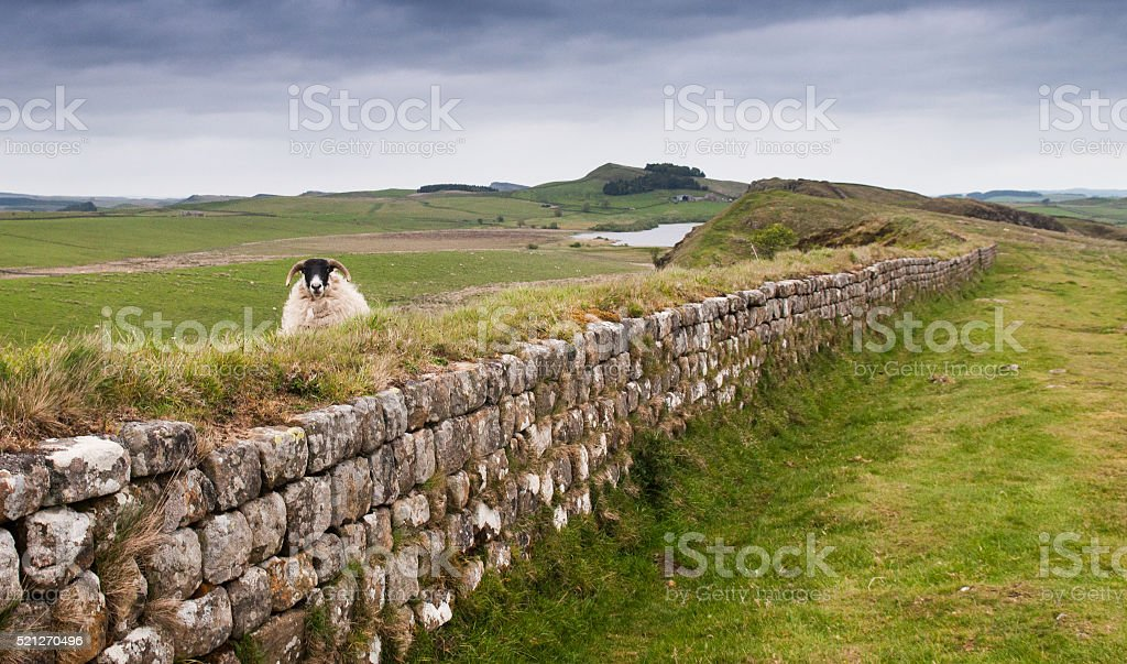 Sheep on the wall stock photo