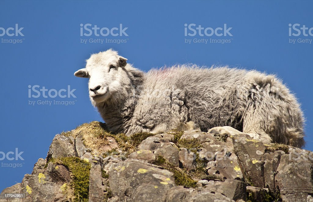 Sheep on top of the World !!! stock photo