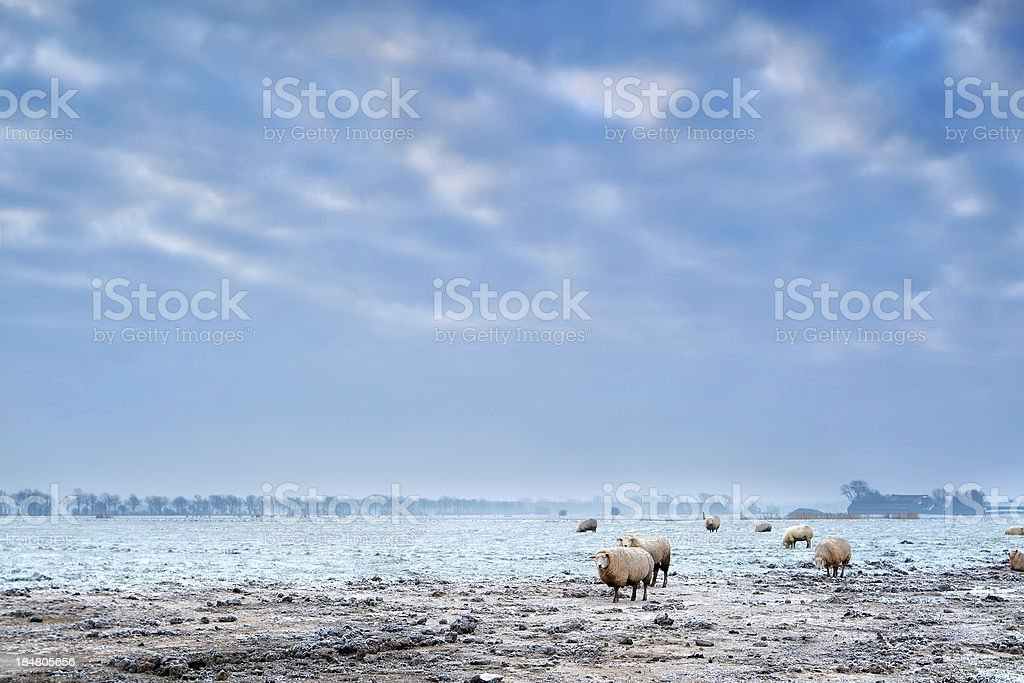 sheep outdoor on frosted winter pasture royalty-free stock photo