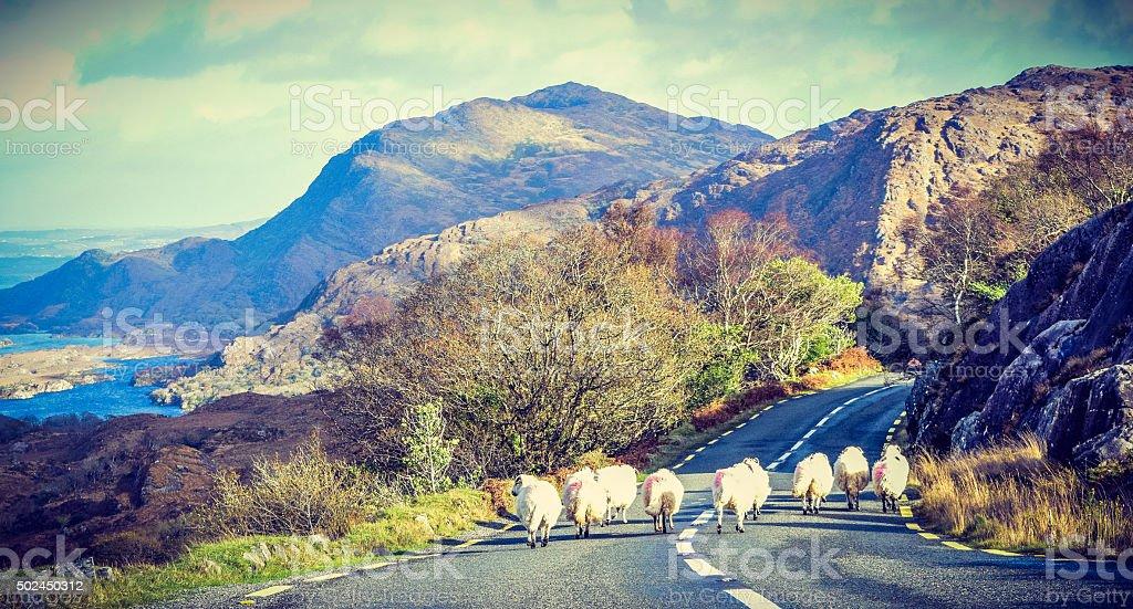 Sheep passing stock photo
